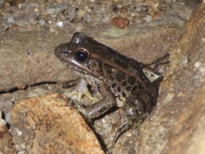 Slika lesne žabe